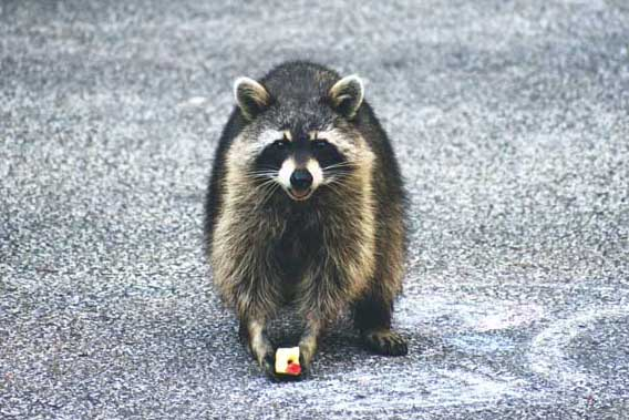 what can raccoons not eat