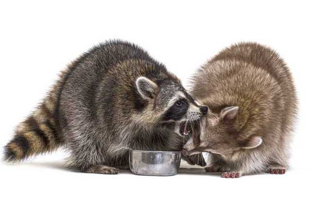 why do raccoons fight