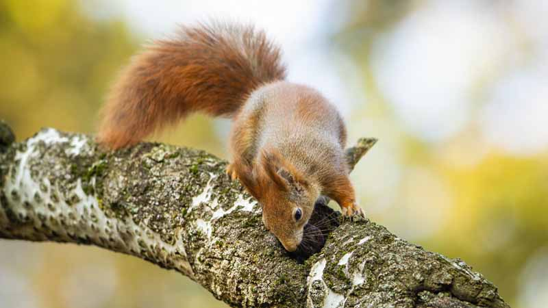 Why Do Squirrels Nip Off Branches