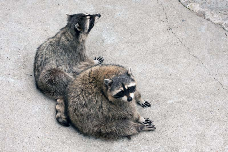 what time do raccoons come out