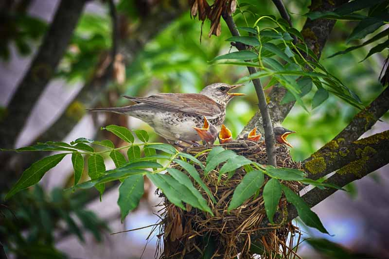 Can-Mother-Birds-Move-Their-Babies