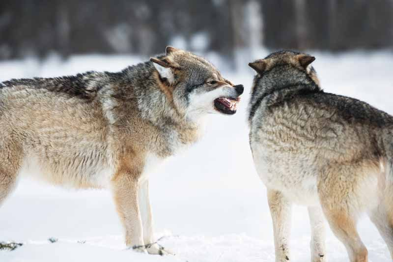 Do Wolves Eat Coyotes