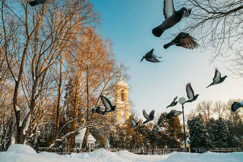Where Do Pigeons Go in The Winter
