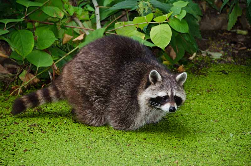 Why Do People Hunt Raccoons