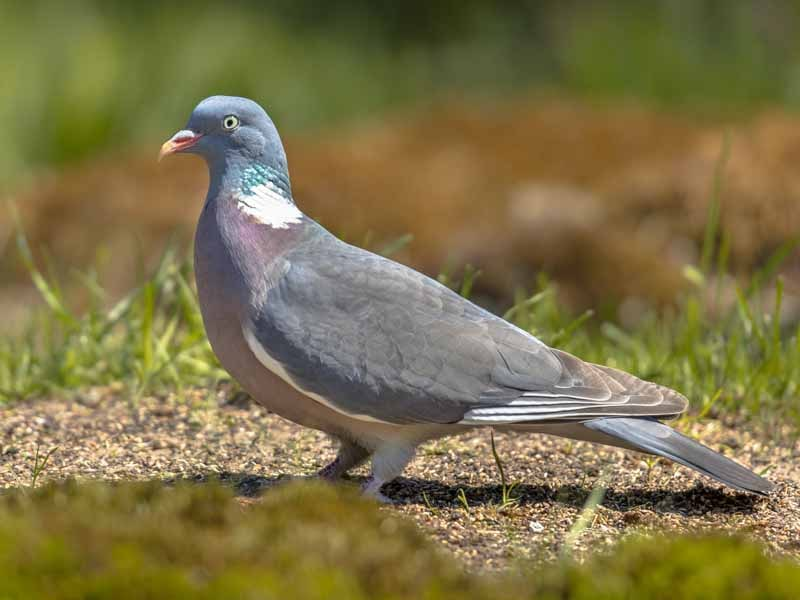 Why Do Pigeons Coo Constantly